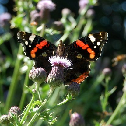 Red Admiral on Thistle